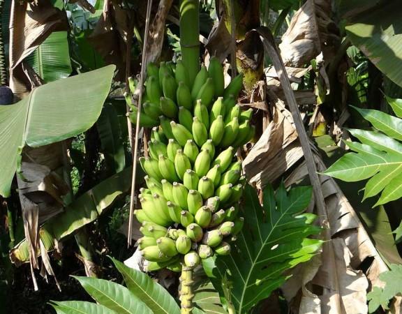 Mal de Panamá - Plantación de banano